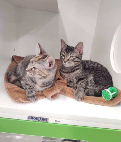 """Two young gray tabby cats resting on an orange towel inside a green cabinet-shaped kennel with """"windows"""" at Petworks animal shelter in Kingsport, TN"""