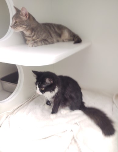 Gray cat (top shelf) and a black and white cat (bottom shelf) in the cabinet shaped green kennels at Petworks animal shelter in Kingsport, Tennessee
