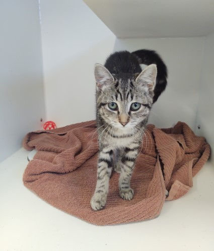 Young female tabby cat with a grey coat resting on a burnt orange and brown blanket at Petworks animal shelter in Kingsport, TN