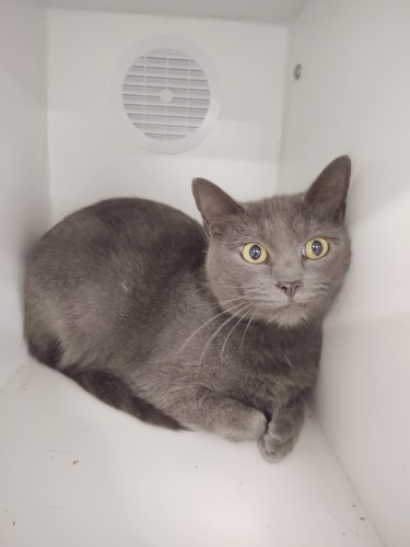 Handsome grey male cat with green eyes chilling in his apartment like kennel at Petworks