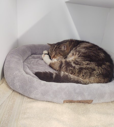 Fluffy grey tabby that's two years old sleeping on a gray cat bed in her kennel at Petworks Kingsport Animal Services, aka the animal shelter in Kingsport, TN