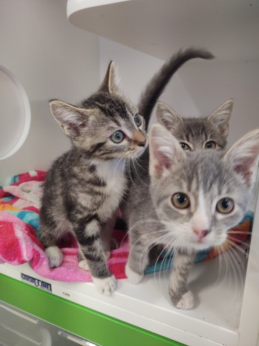 Three grey baby kittens huddled together inside their kennel at the animal shelter in Kingsport, TN