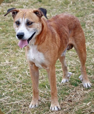 Brown dog with a greying coat (senior)