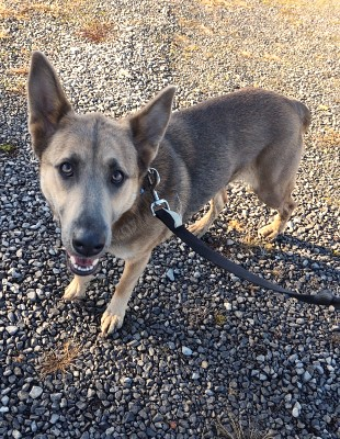 Light brown dog with big ears