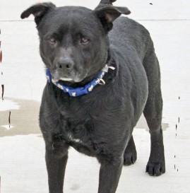 Black dog with a blue collar