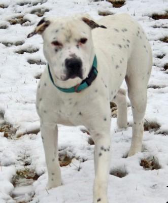 Big white dog with black spots