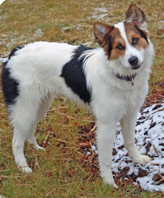 Small white dog with black and brown spots