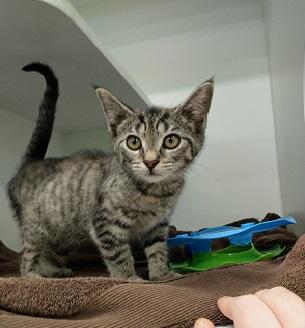 Small grey tabby cat