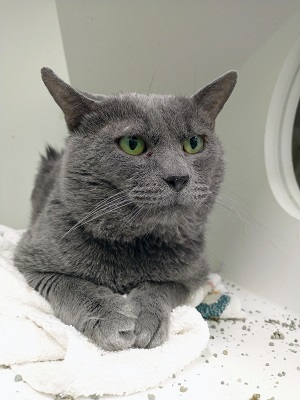 Grey cat with a grumpy expression