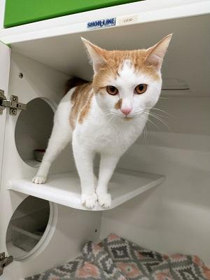 "White cat with an orange ""helmet."""