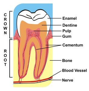 Root canal info