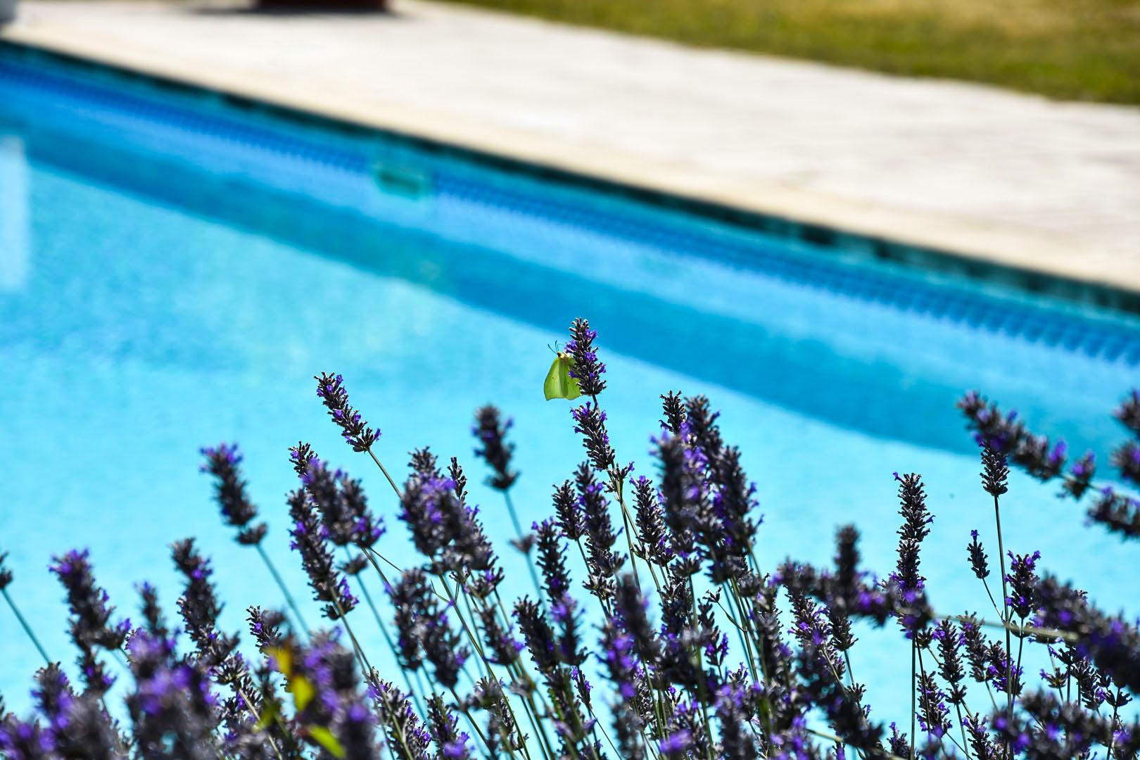 Fleur de lavande devant la piscine