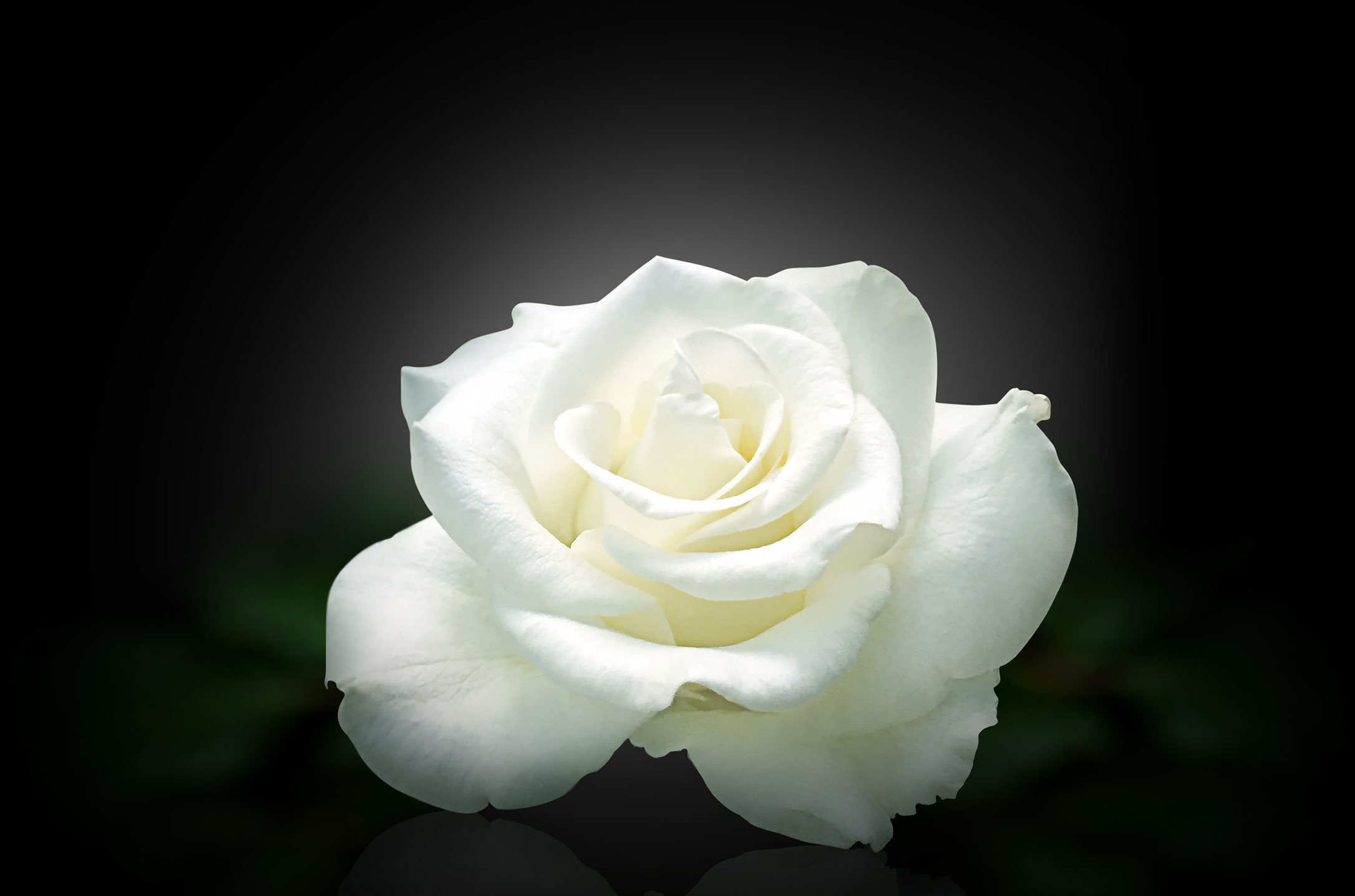 Image of a Rose