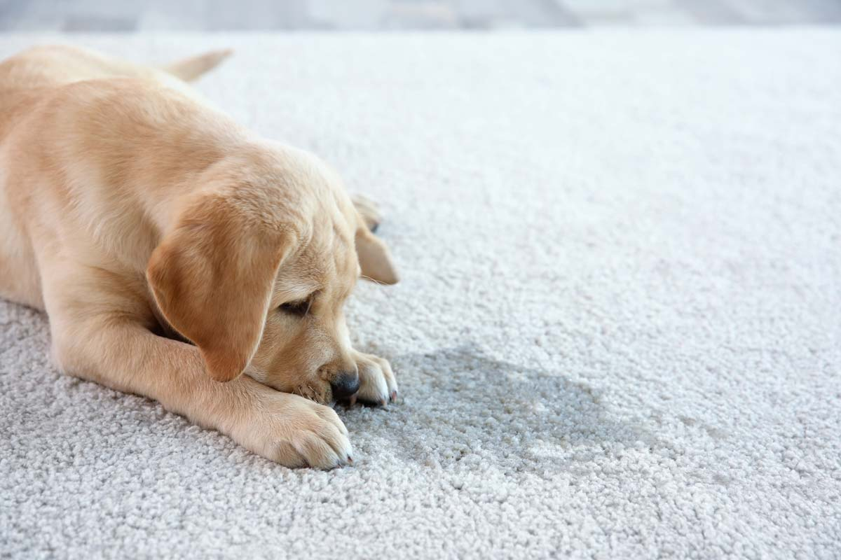 Puppy accident on carpet