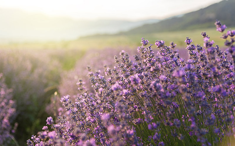 Lavender Field Funeral Services Image