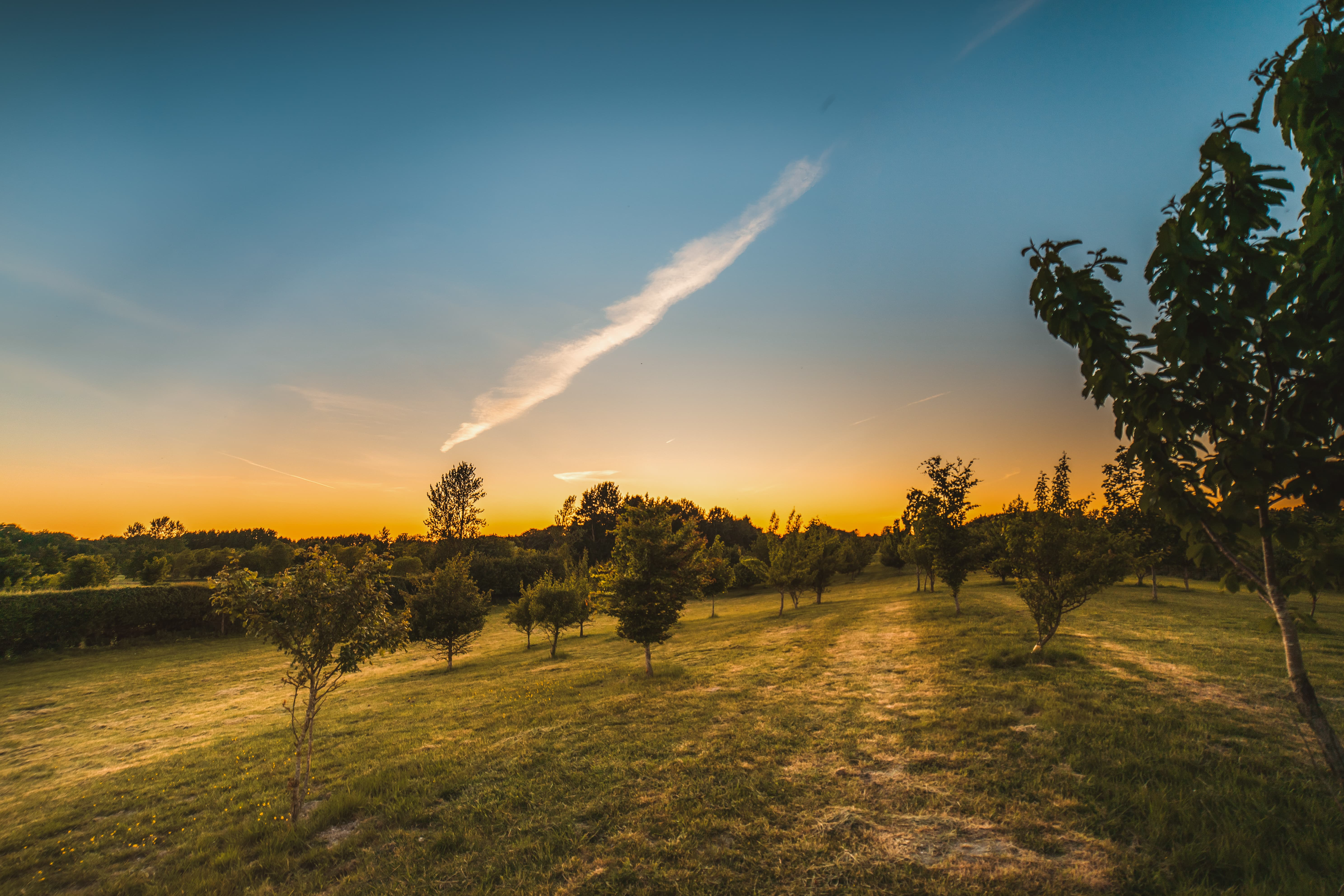 Fruit tree's in a field at sunset