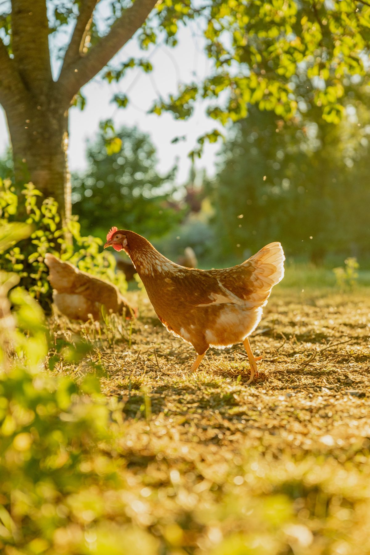 First image of hens