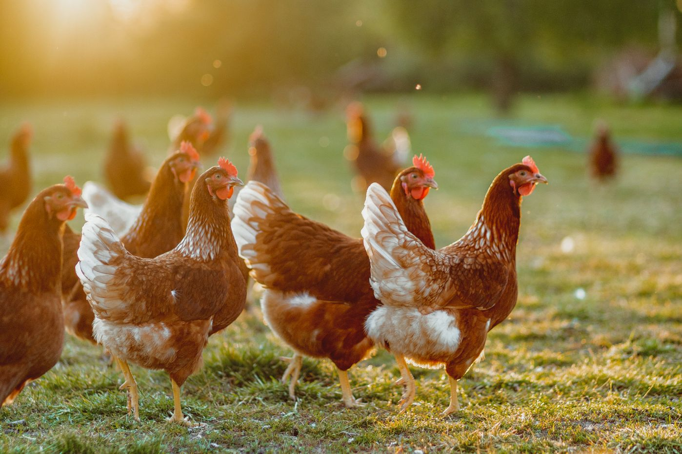 Close up of chickens in a field at sunset