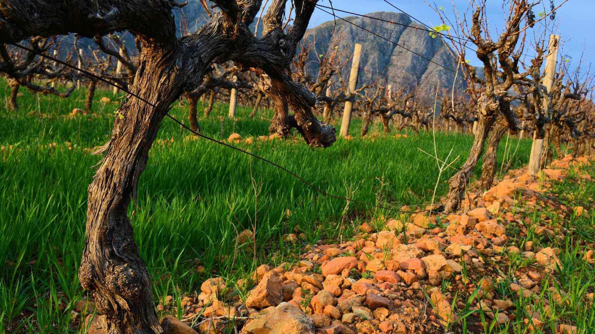 Strydom Vineyard