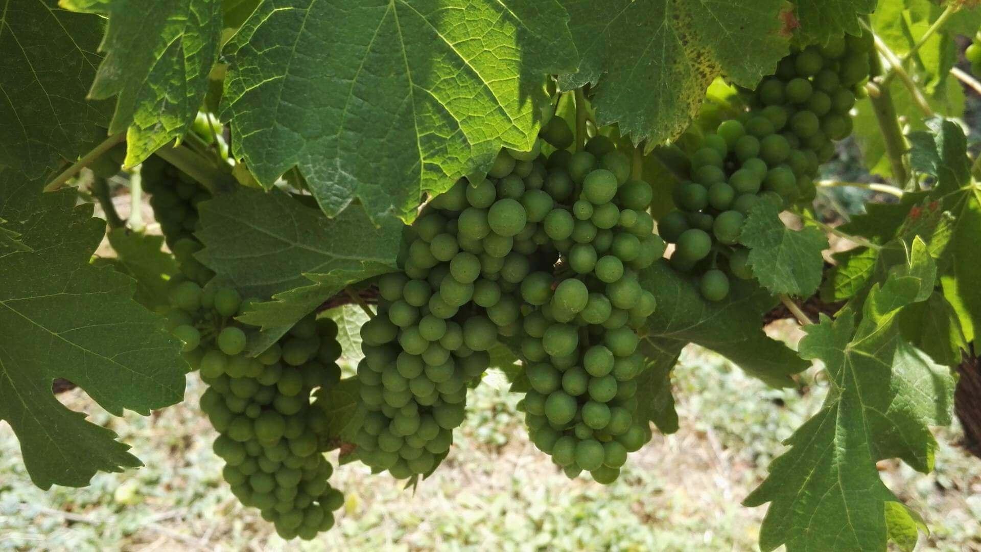 mellasat grapes