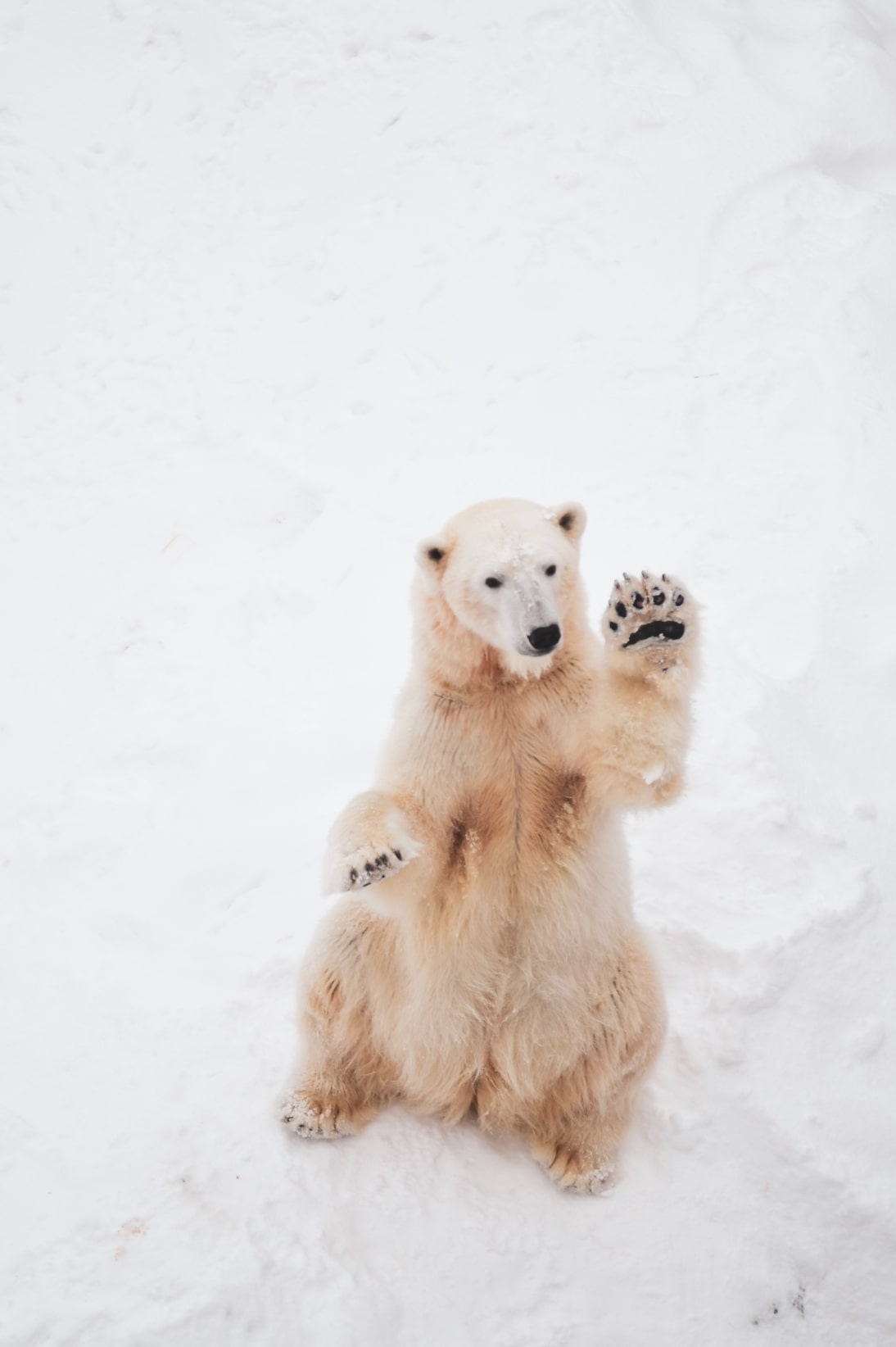 Waving polar bear.
