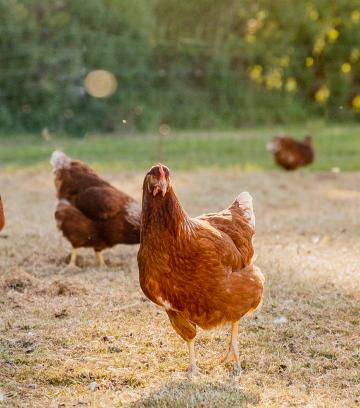 Free Range vs Organic Eggs