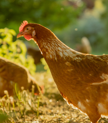 How We Keep Our Organic Hens Purely Healthy