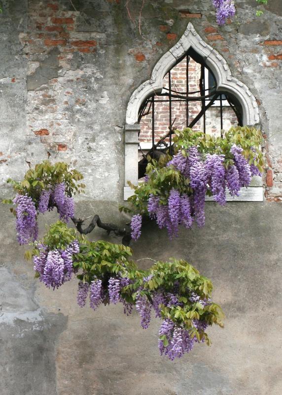 wisteria-window