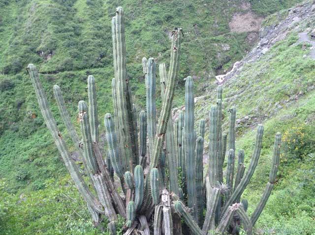 San Pedro, Cactus. Source: Maxwell Wieland