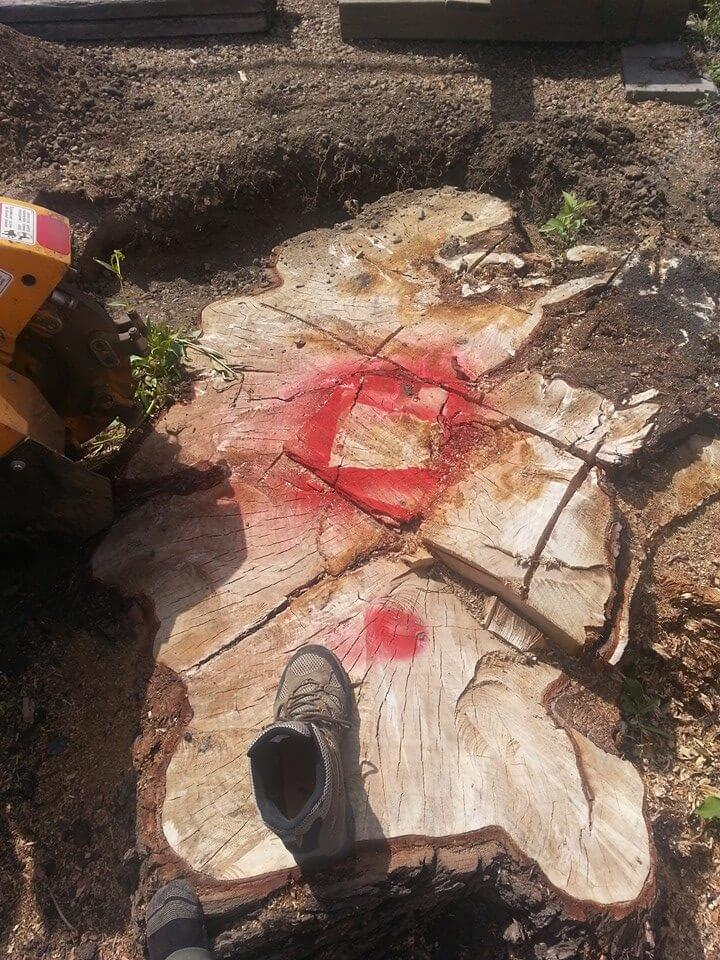 large tree stump with shoe for size before removal in Edmonton, AB