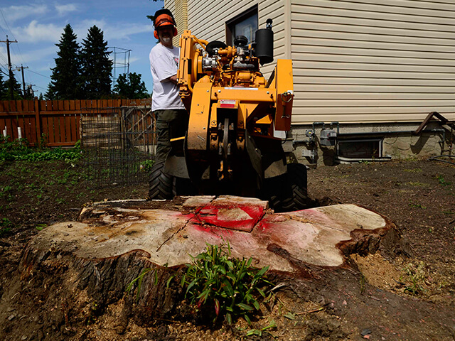 ABC Stump Removal employee getting ready to grind down large tree stump in Edmonton, AB