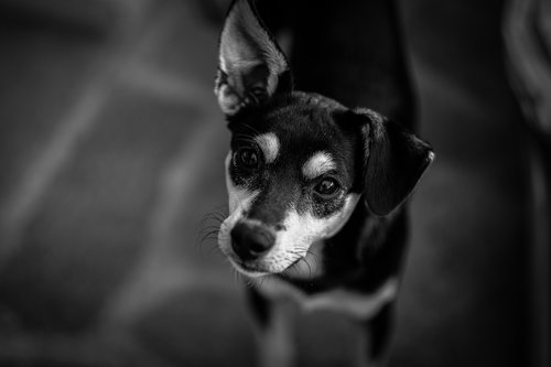 Image of a dog in black and white.