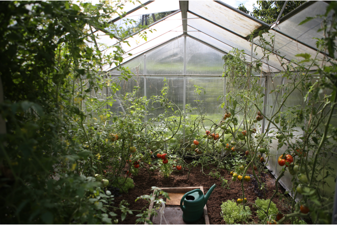 Interior of greenhouse with many tomato plants