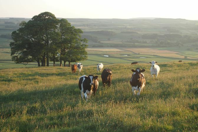 Cattle standing in a field, tree in background