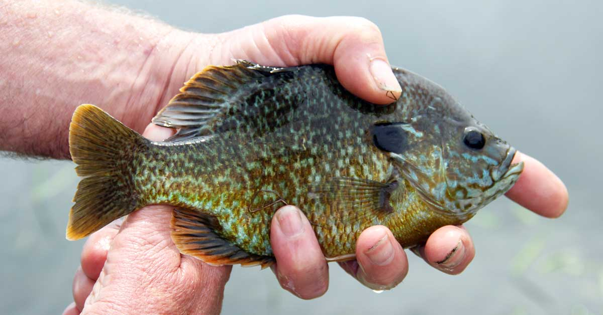 Bluegill | Today I'm Outside