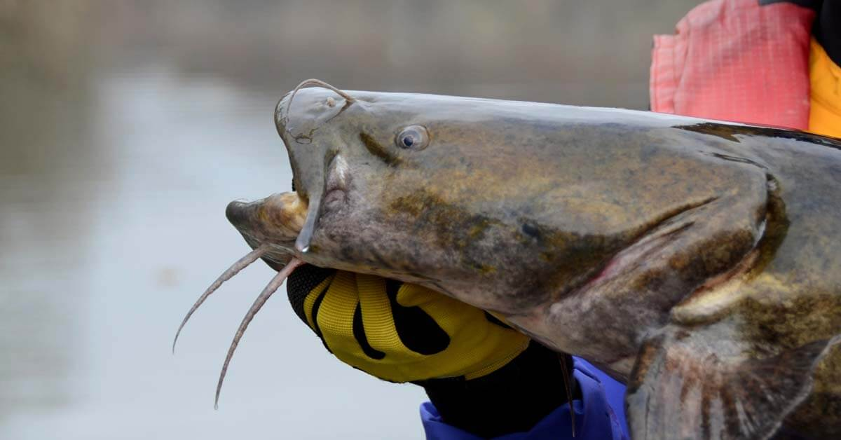 How To Catch Flathead Catfish | Today I'm Outside
