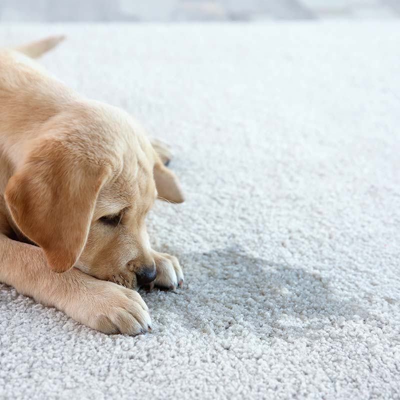 Pet stain removal in Lynnfield, MA