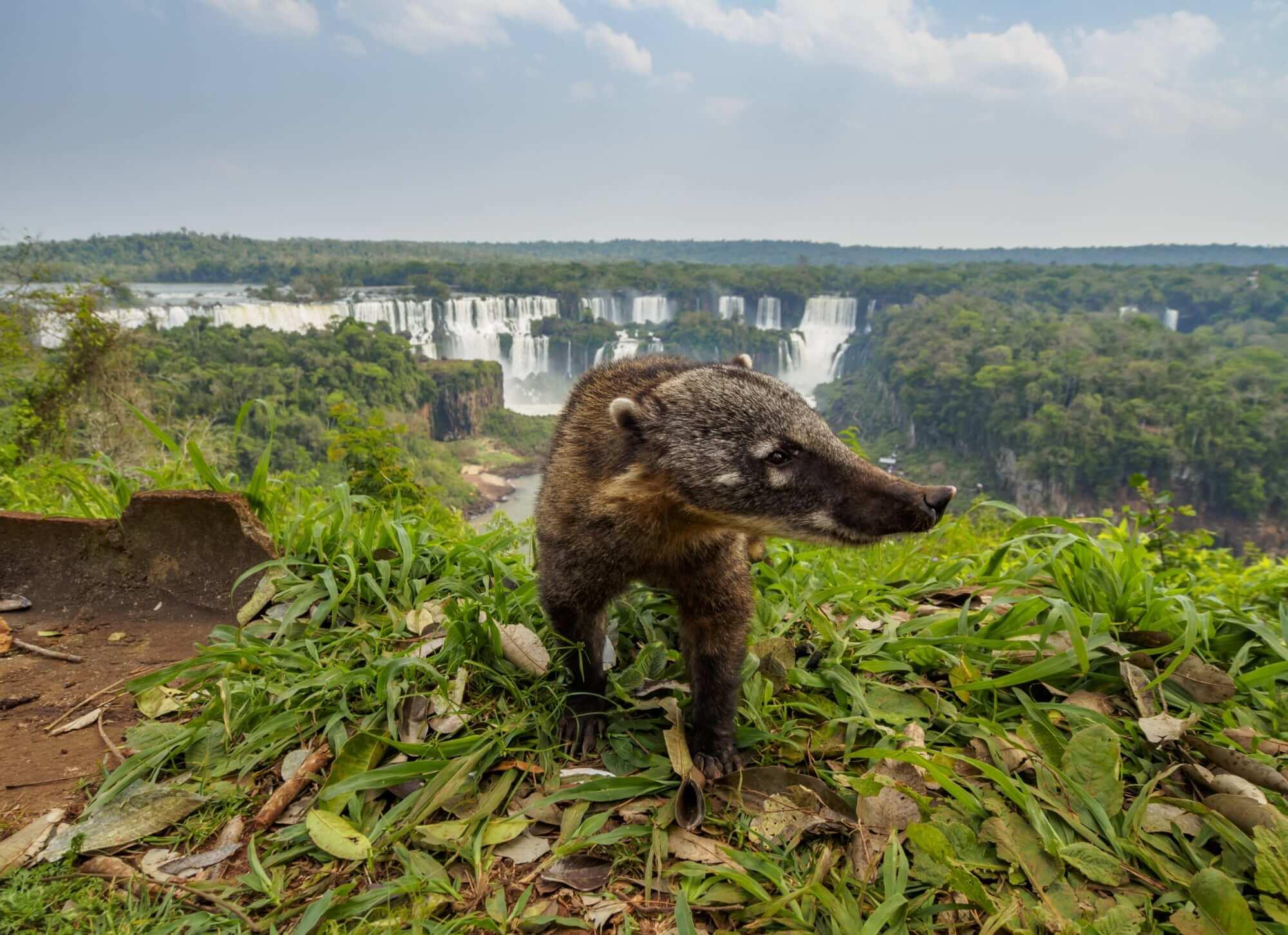Capybara at the Iguazu Falls