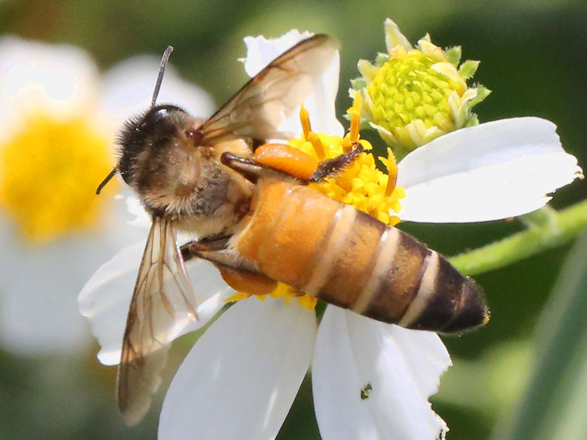 Air pollution effects Apis dorsata (rock bee) in India