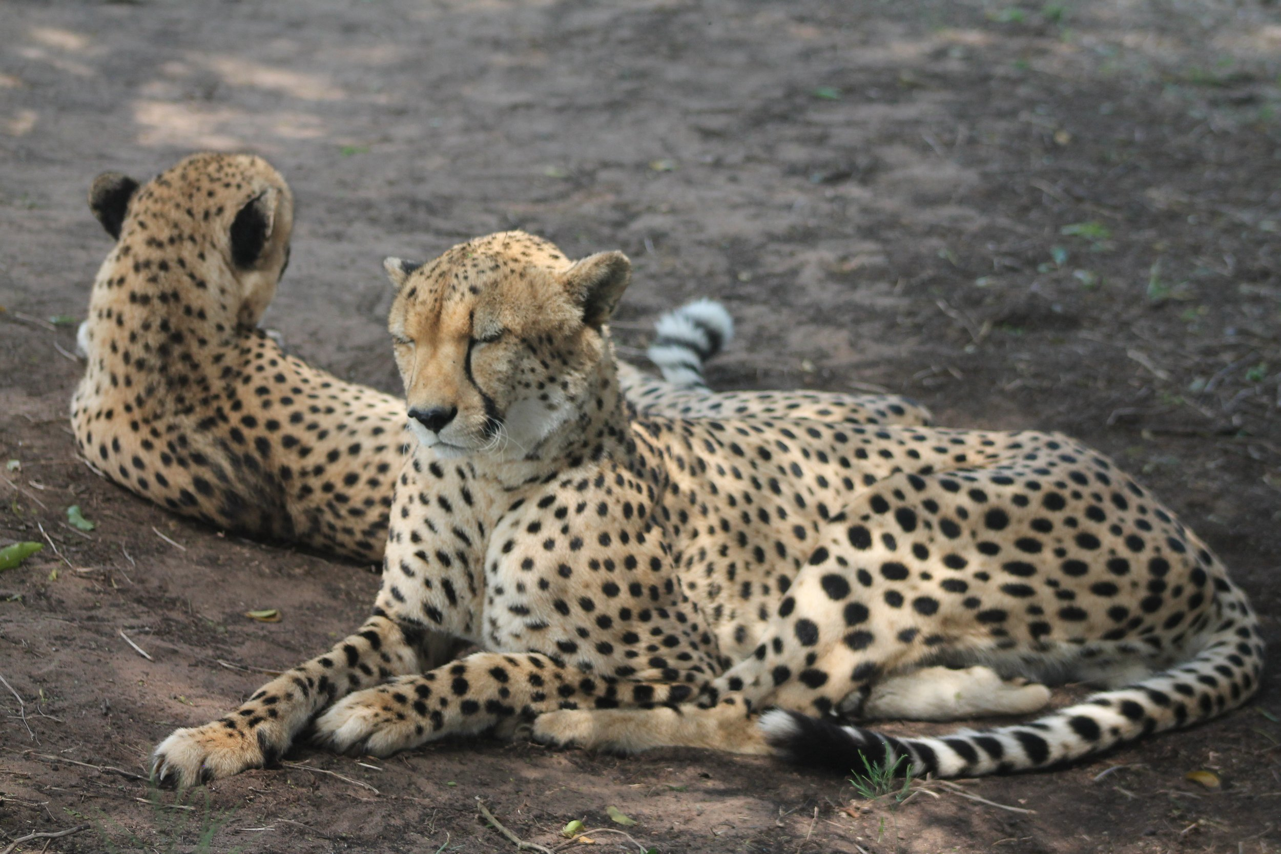 Two cheetahs on the ground