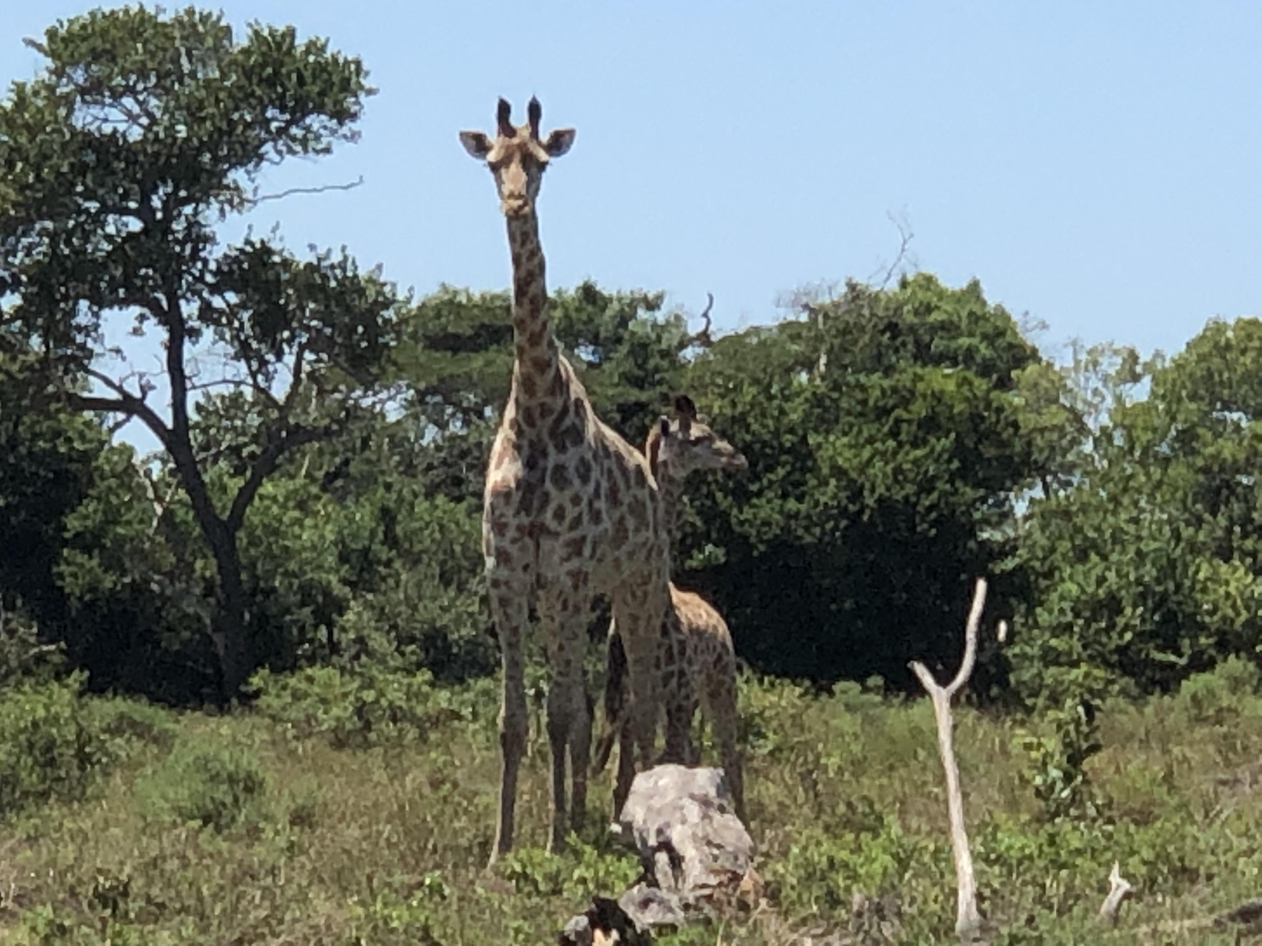 Giraffes at iSimangalisa