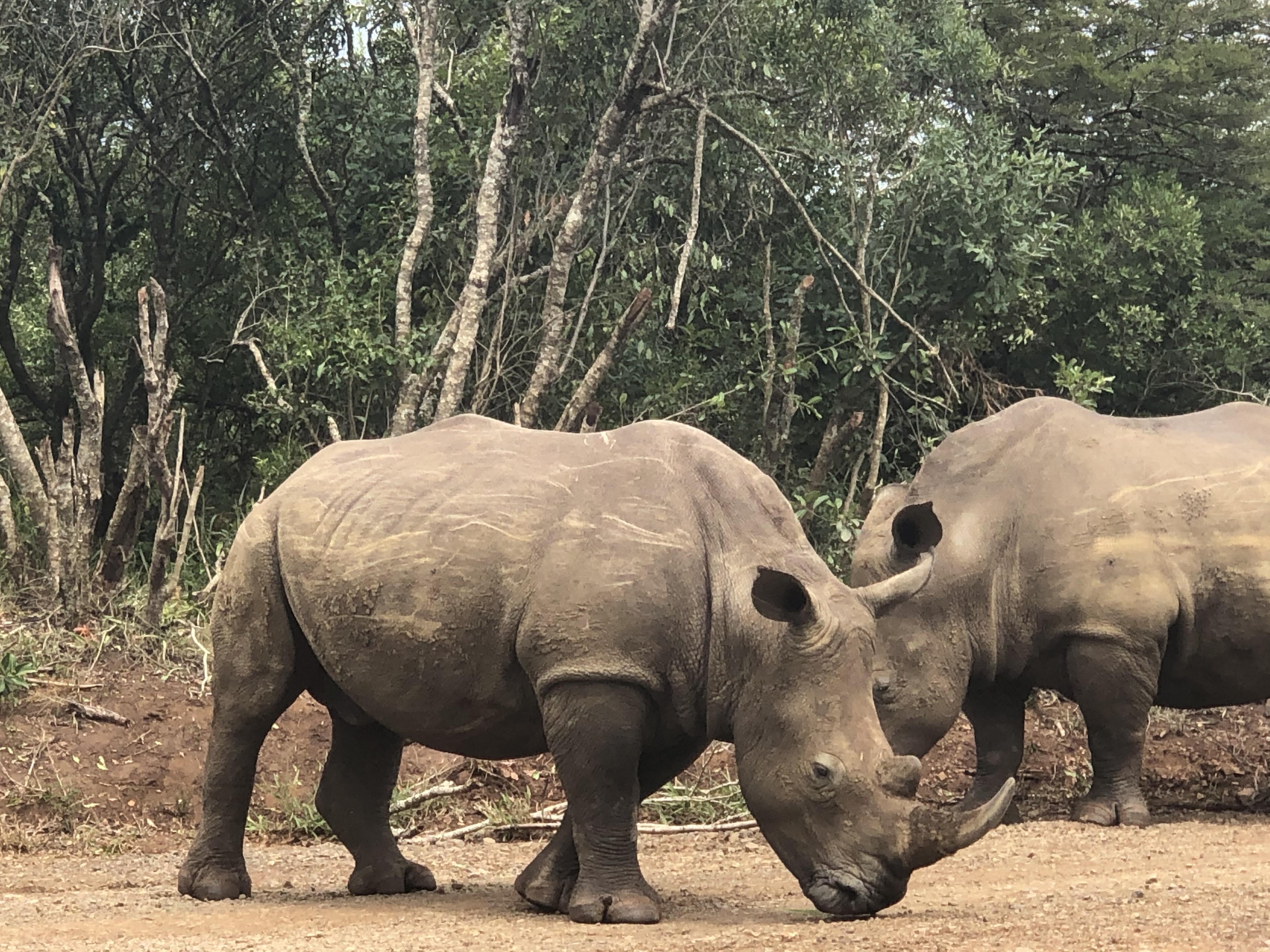 Rhinos at Hluhluwe-Imfolozi