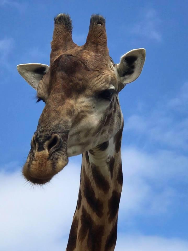 Giraffe close-up along Garden Route