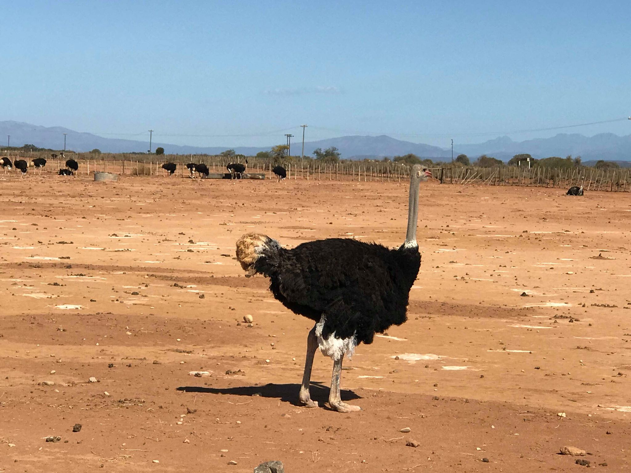 Ostridge at Cape Point