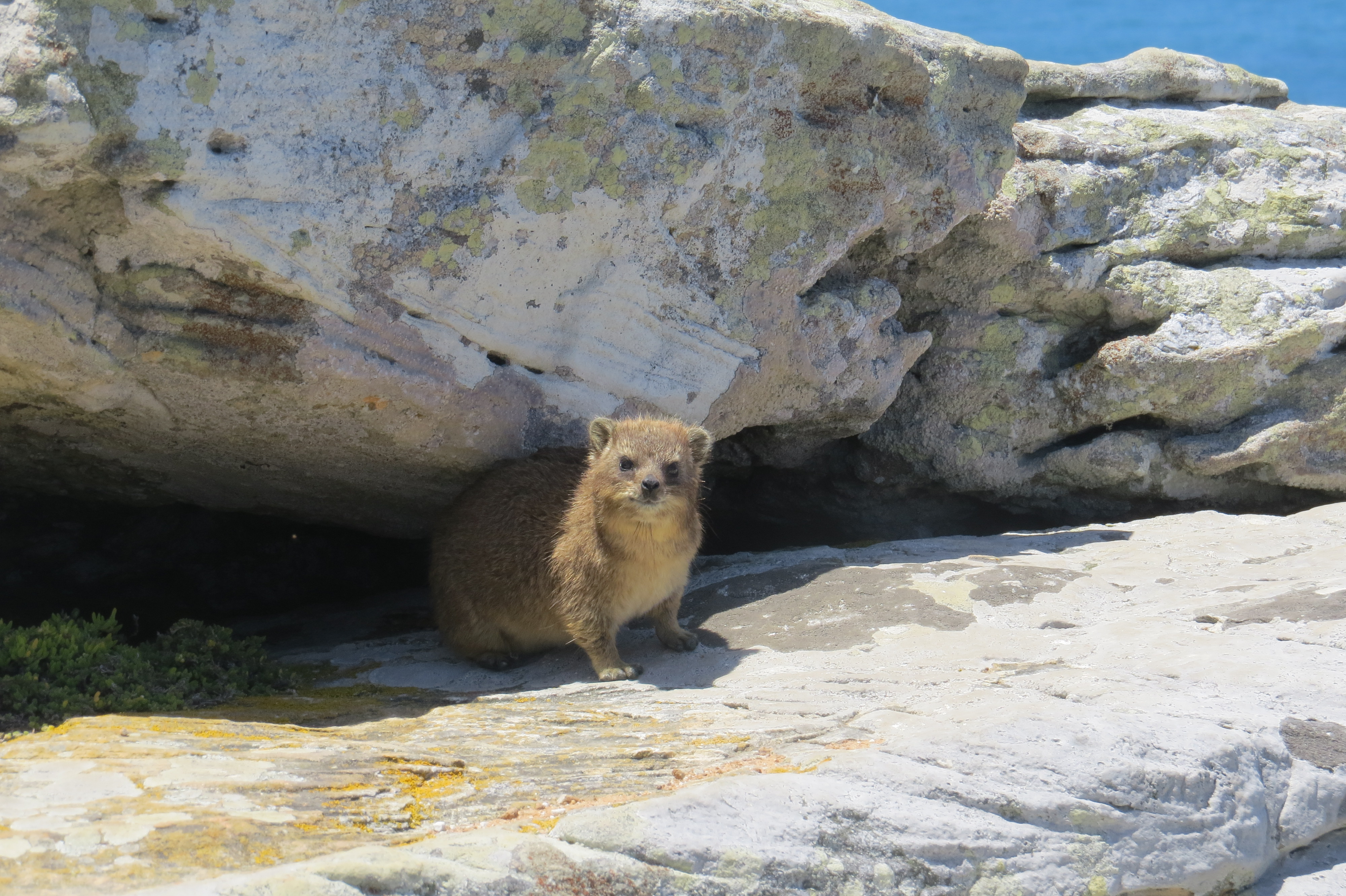 Dassie at Table Mountain, Cape Town