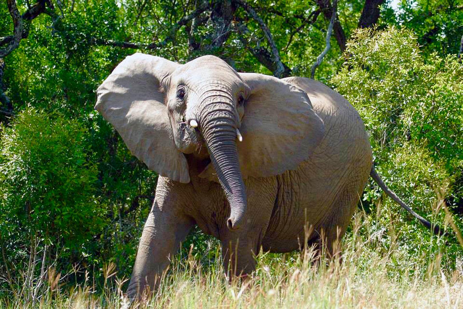 Elephant at Hluhluwe-Imfolozi
