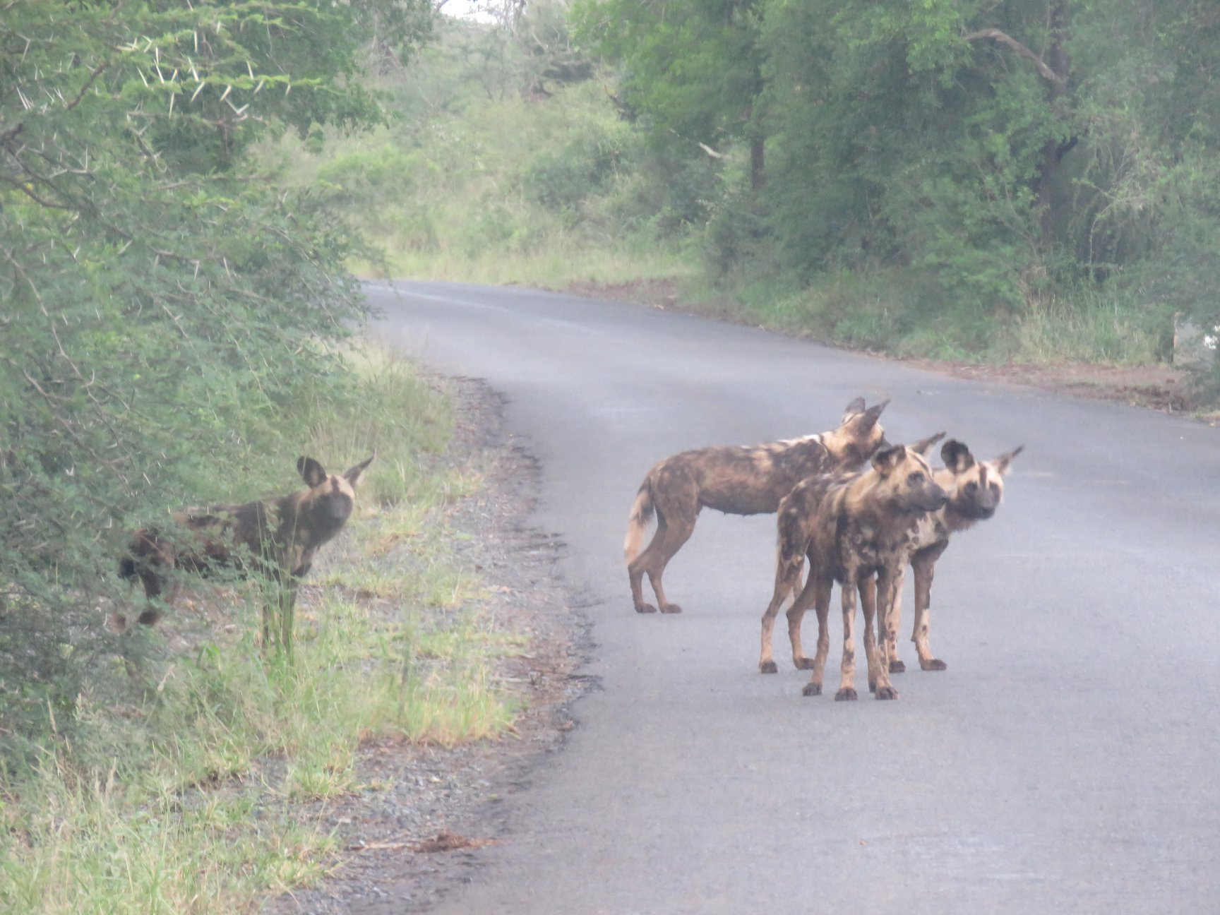 Wild dogs are rare to see