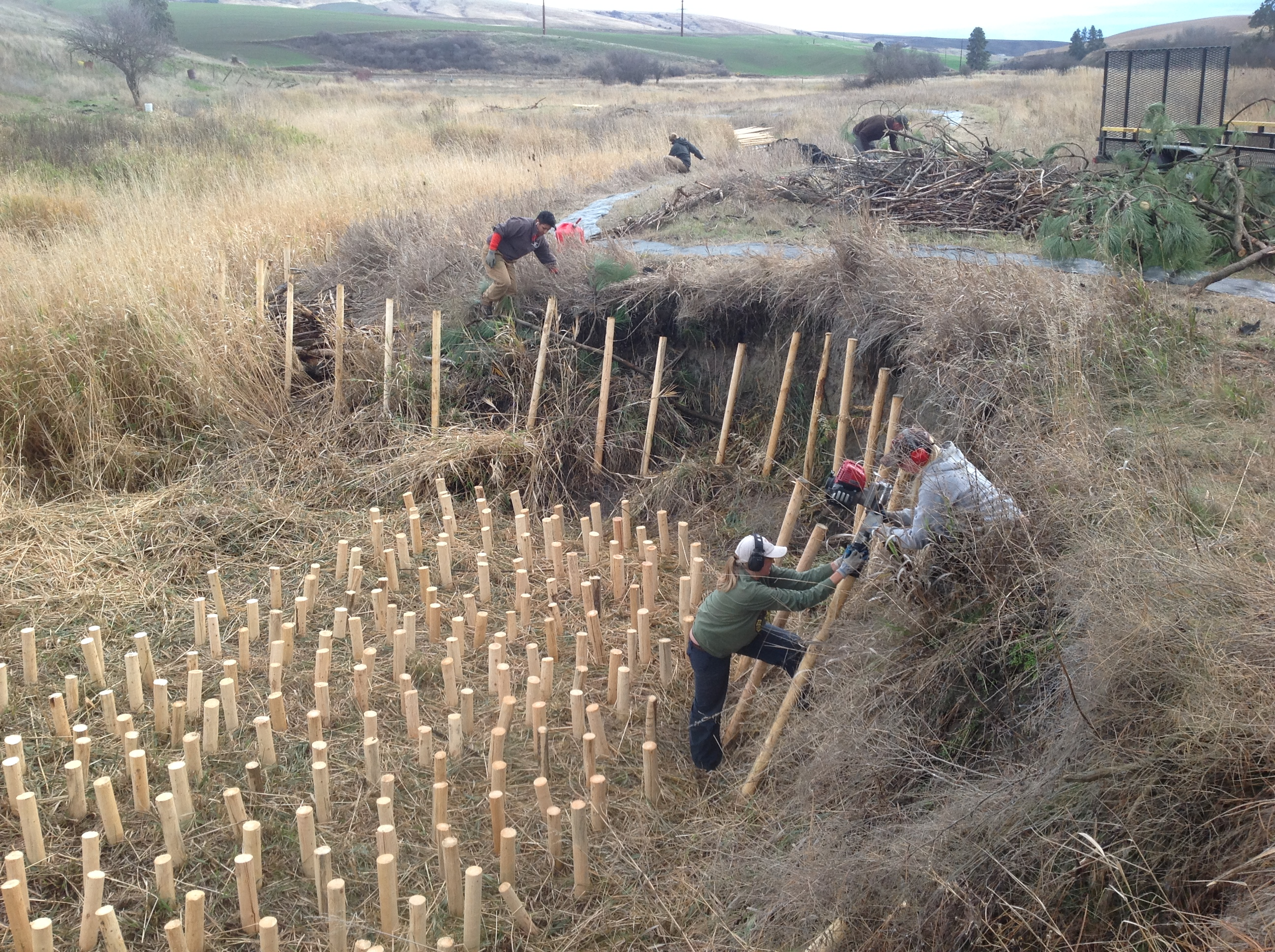 Palouse CD staff and volunteers installs a bank stabilization project along the Paradise Creek riparian corridor.