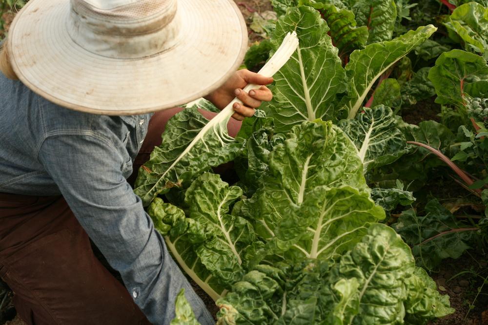Clark County farmer harvests chard