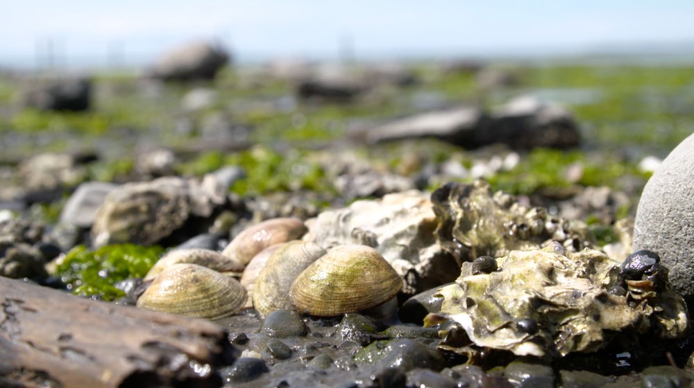 Clallam Conservation District: Re-opening shellfish beds in Dungeness Bay